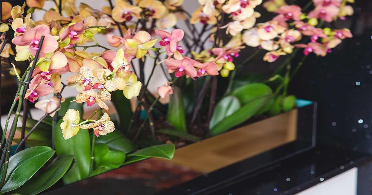 Come Coltivare le Orchidee in Casa? Cura, Irrigazione e Concimazione