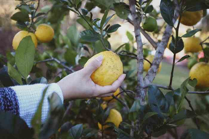 Parassiti del Limone in Vaso e in Terra: Rimedi e Cure