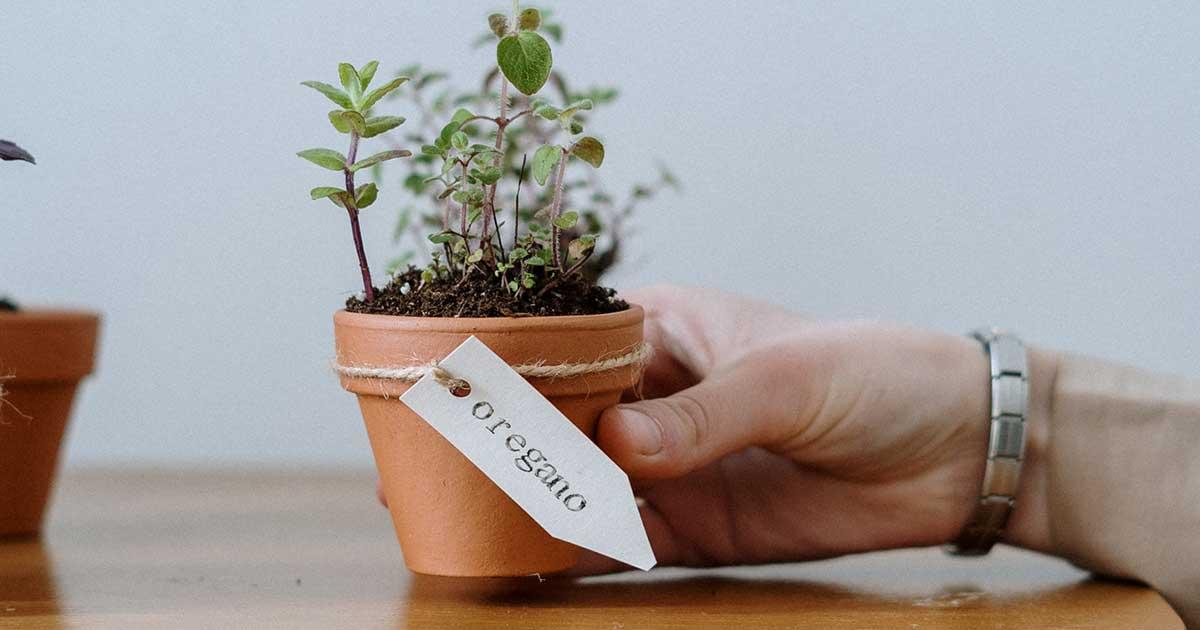 Come Coltivare l'Origano: Guida alla Coltivazione in Vaso